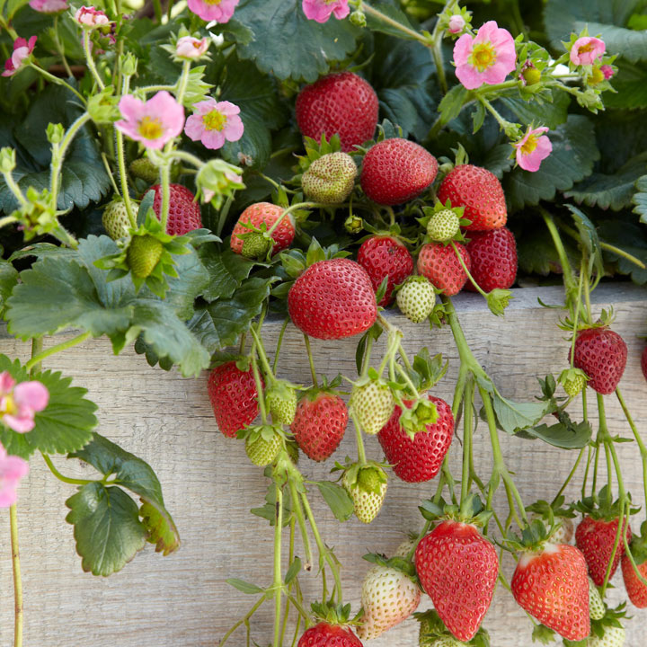 How to Grow Strawberries at Home: Frisan Strawberry Plant