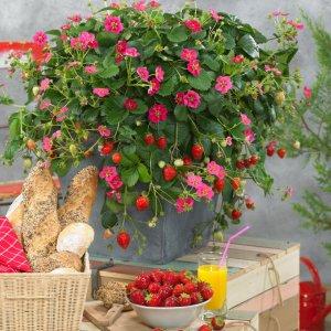 How to grow strawberries: Toscana Strawberry Plant