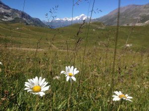 Wildflower meadow under the gaze of Mont Blanc