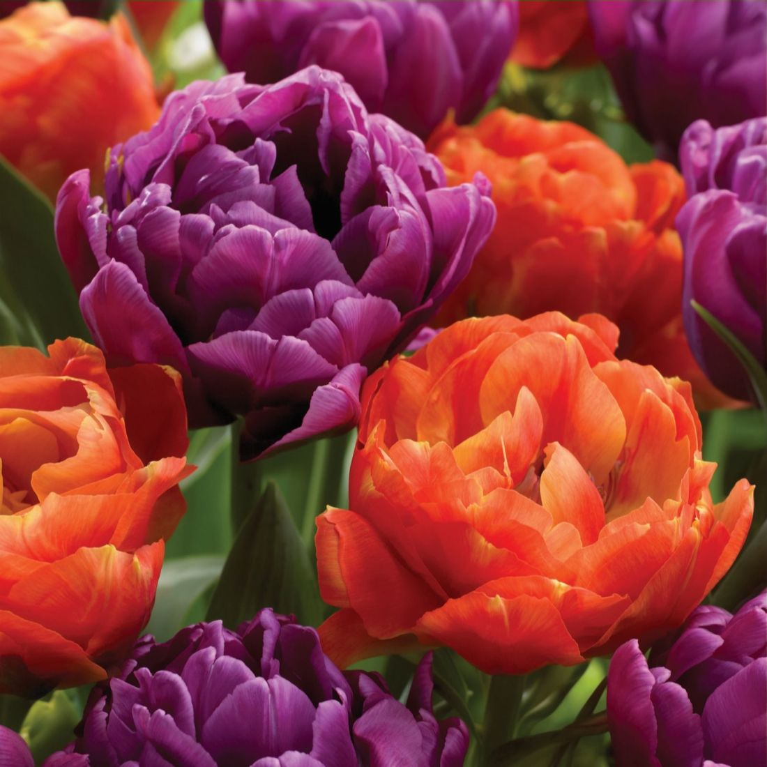 QVC gardening highlights: Tulip Peony
