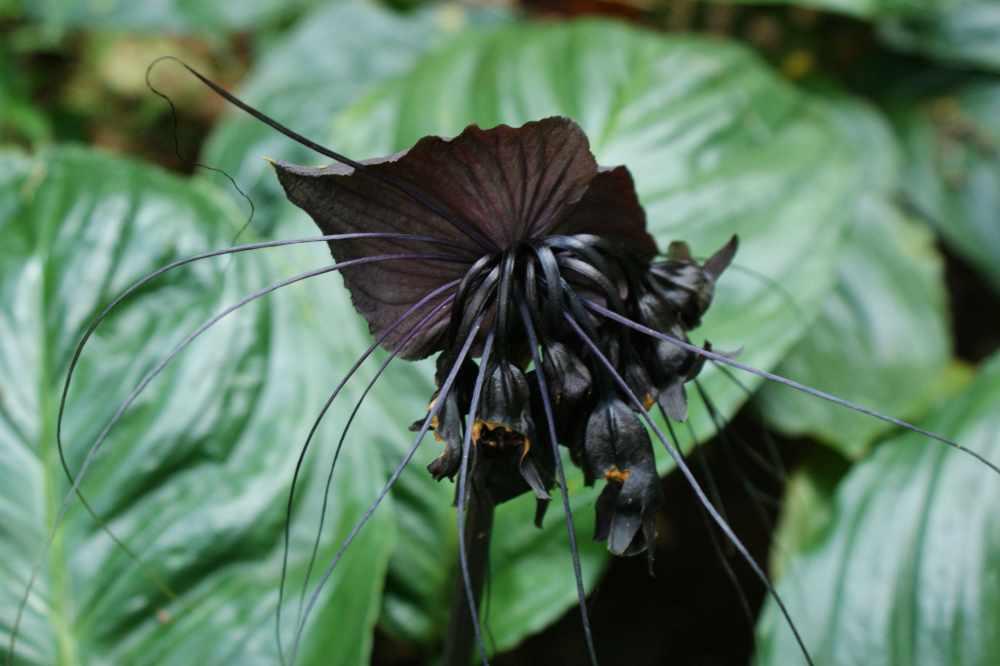 Black flower: Tacca chantrerei