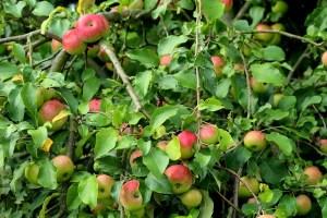 Seasonal gardening: fruit tree