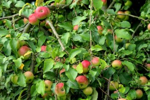Seasonal gardening: fruit tree