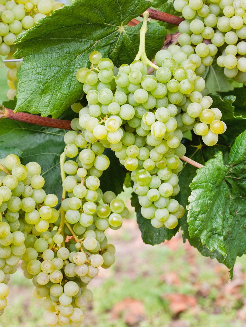 Prosecco Grape Vine