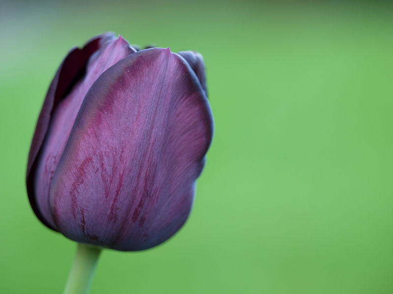 Black flowers: Tulip continental