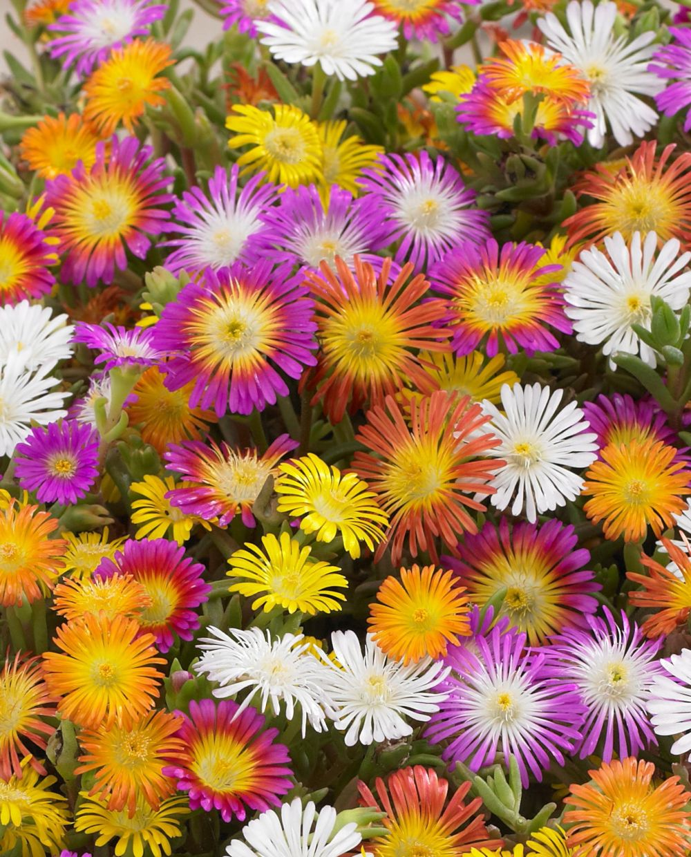 Delosperma Wheels of Wonder mix