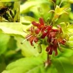 Divervilla Honeybee
