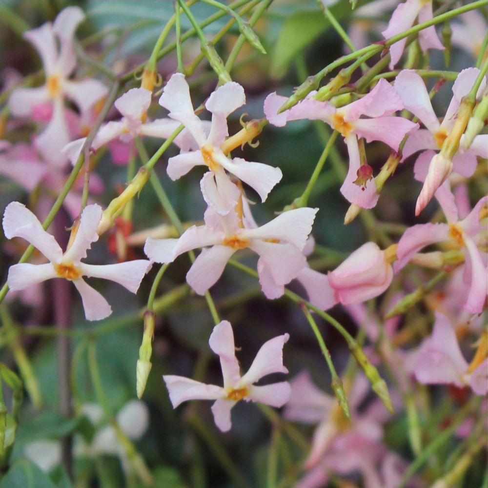 Fragrant pink evergreen Jasmine