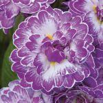 Double Primula Belarina