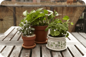 Houseplants as out-plants