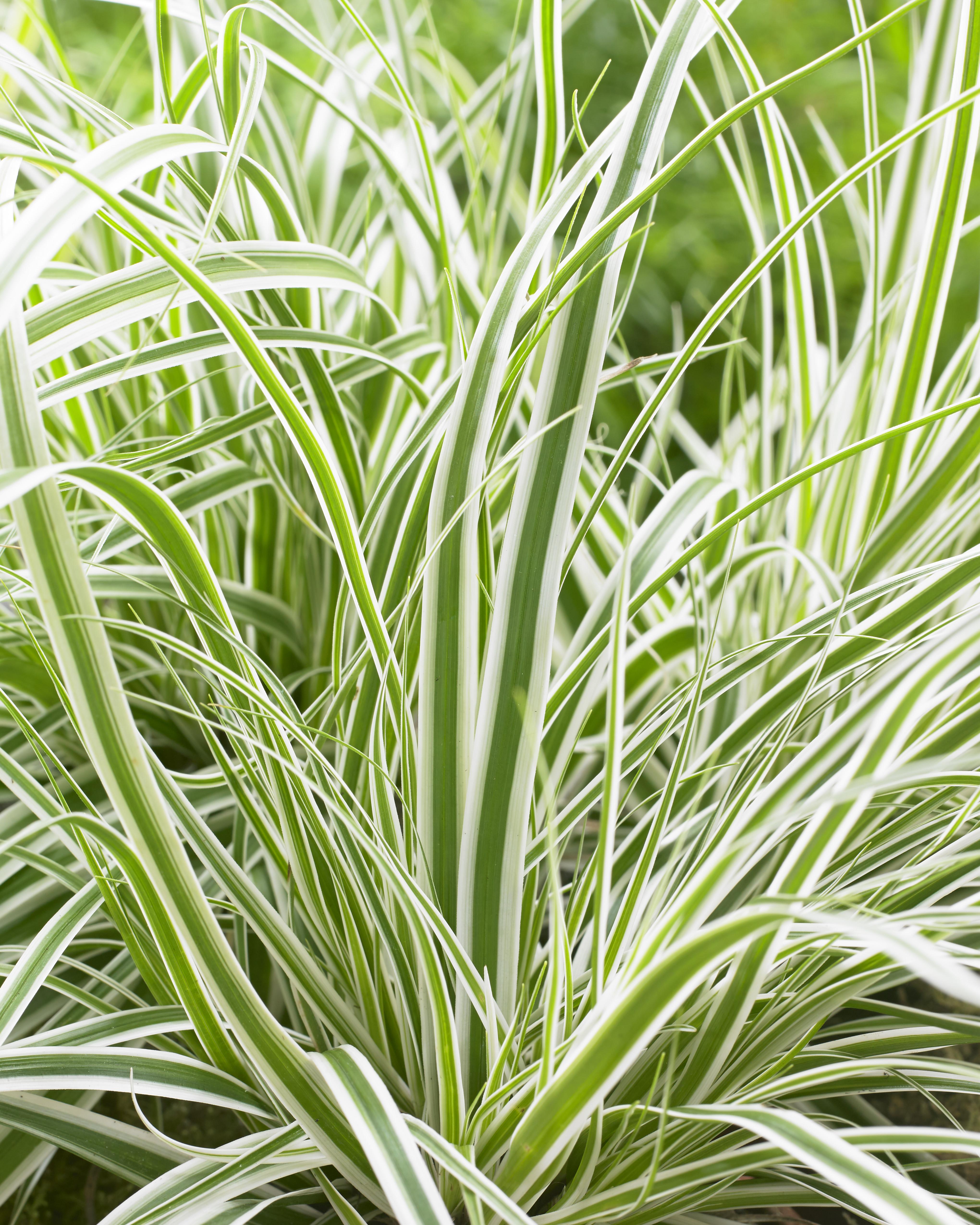 Carex EverColor Everest