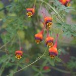 Tropaeolum tricolorum