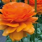 Ranunculus - Persian Buttercup - Clementine