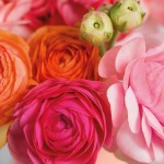 Ranunculus - Persian Buttercup - Mixed
