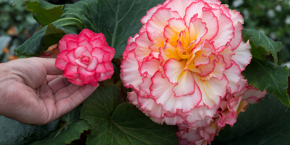 Begonia featured image