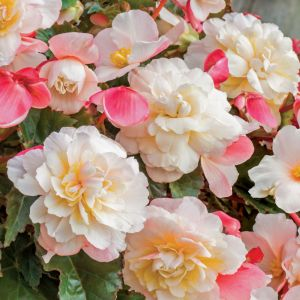 Begonia Fragrant