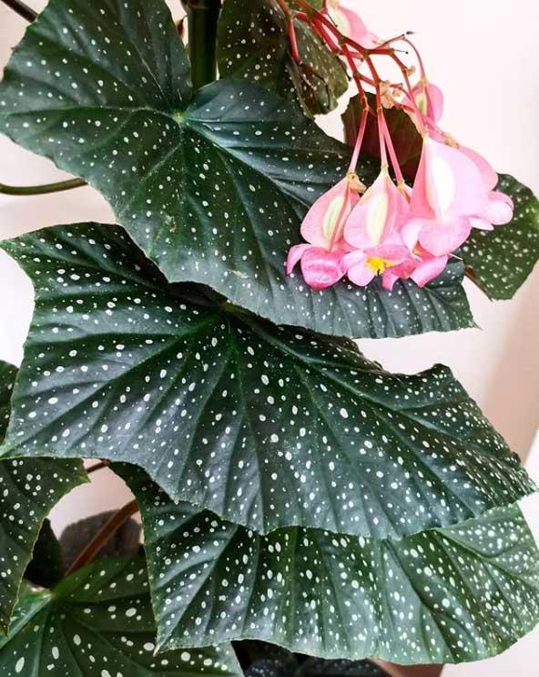 Begonia Polka Dot