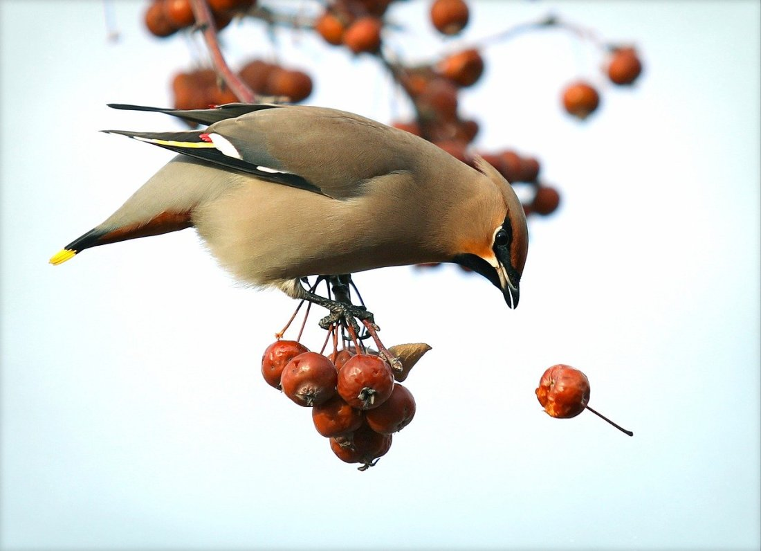 Bird eating Hawthorn berries