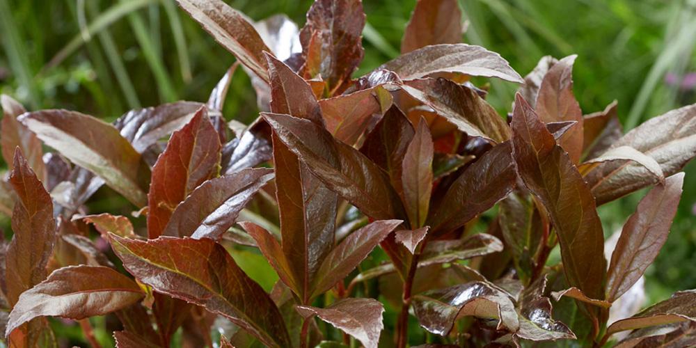 Viburnum Coppertop feature image