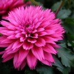 Dahlia LaBella Maggiore Deep Rose