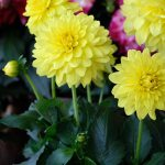 Dahlia LaBella Maggiore Yellow