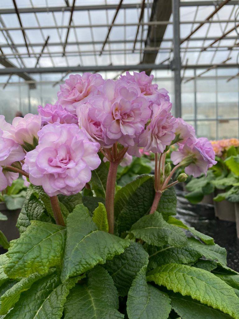 Polyanthus Belarina series