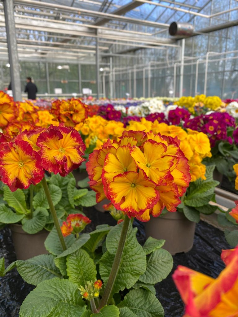 Polyanthus Fire Dragon
