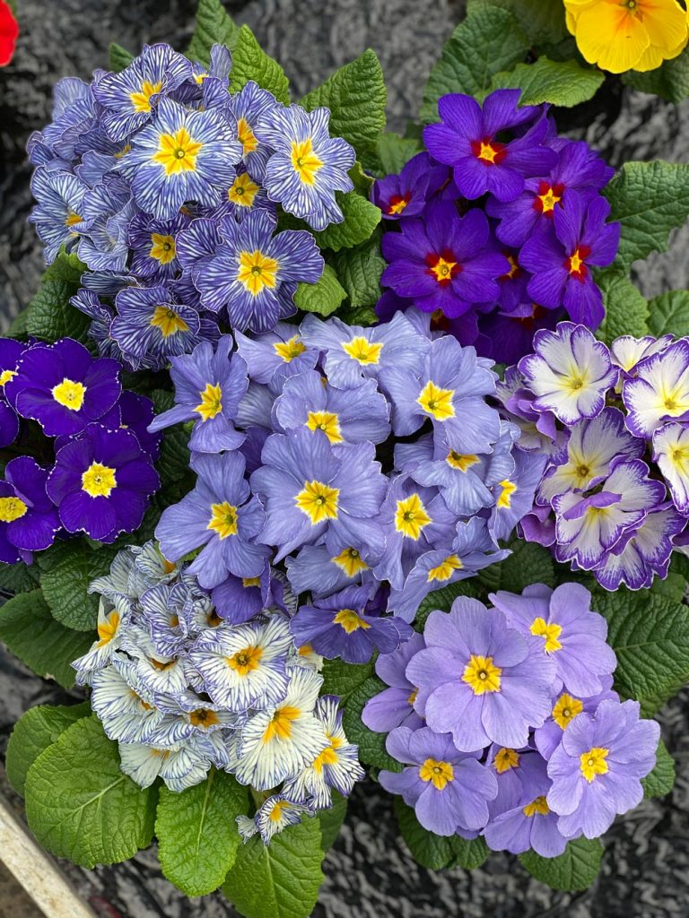 Primrose All the Blues
