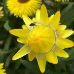 Granvia bracteantha
