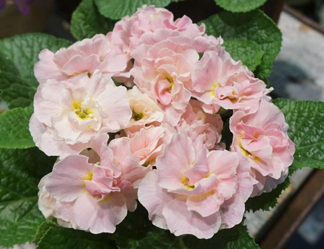 Houseplants - Primroses