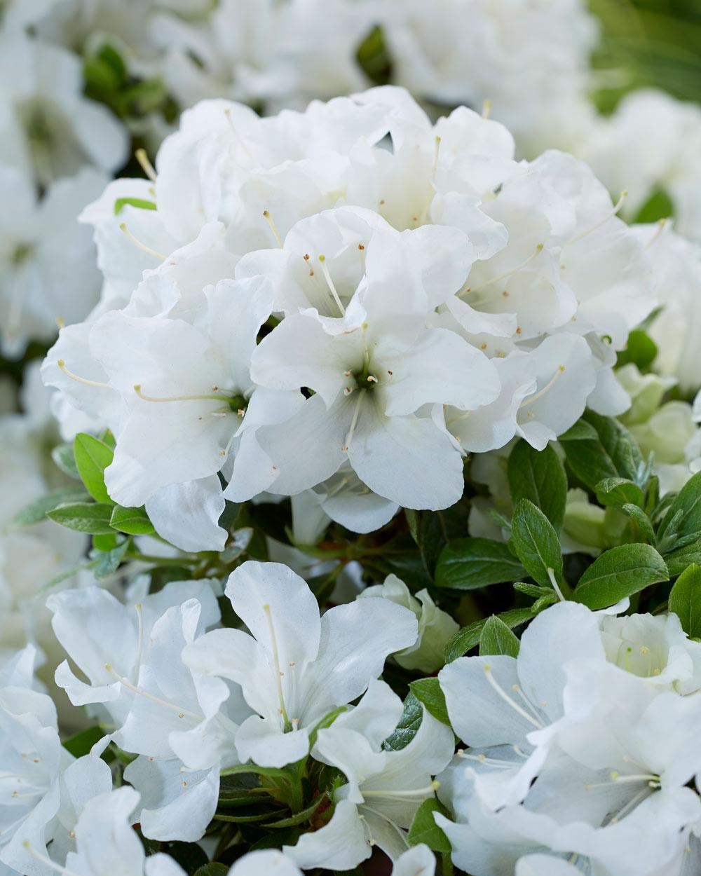 Azalea Encore - white