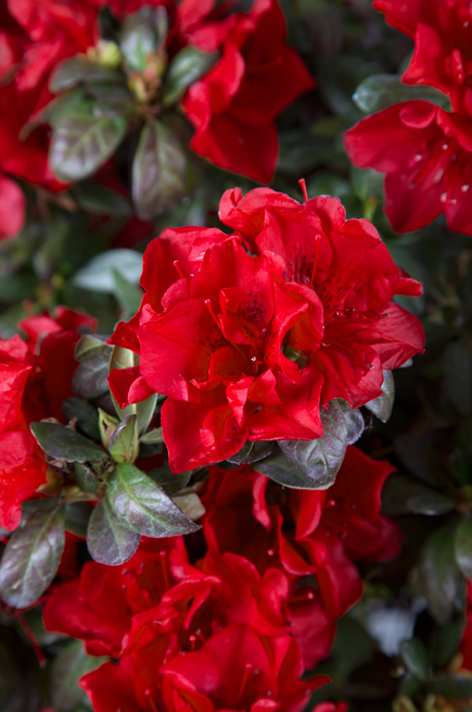 Azalea Encore - Red