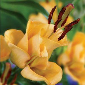 Apricot Fudge Lily