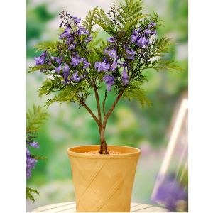 Jacoranda Bonsai Blue
