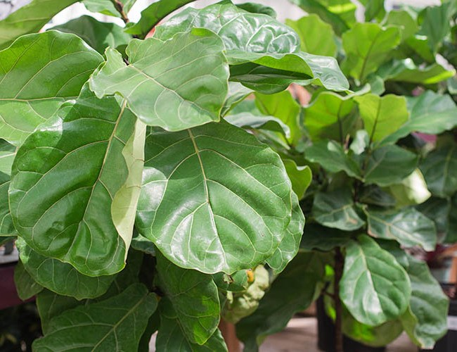 Fiddle leaf fig care - feature image