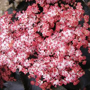 Sambucus nigra f. porphyrophylla 'Black Tower'