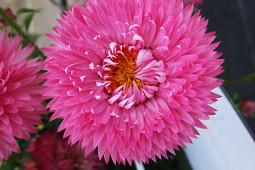 Xerochrysum Granvia Pink Flame - Cohen