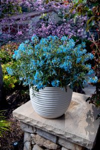 Corydalis Porcelain Blue - AllPlants