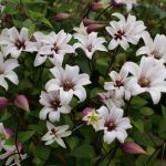 Royal Clematis