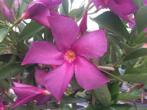 Mandevilla Amethyst Violet - DHMI