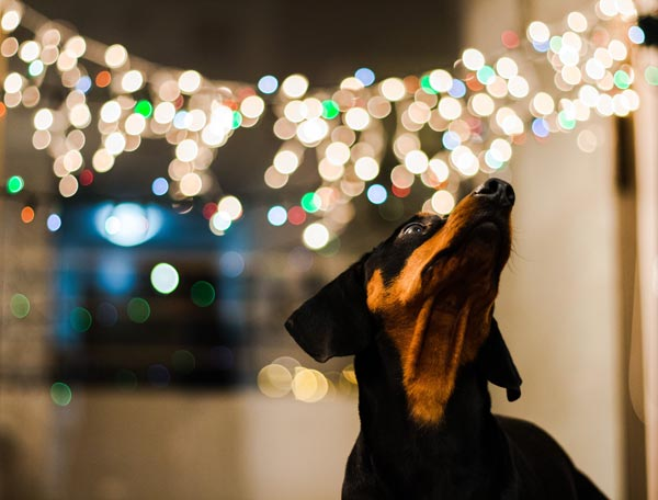 Dog and fairy lights