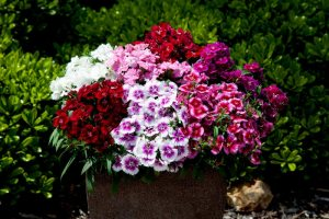 Dianthus IQ - Floranova
