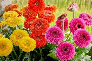 Gerbera Patio Glorious - Florist