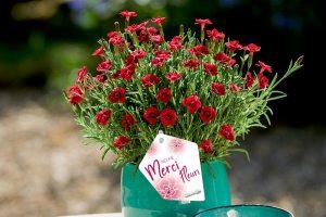 Dianthus Merci Fleuri - Kientzler