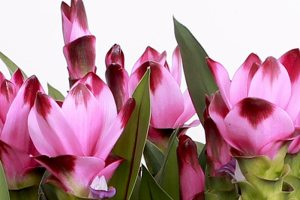 Curcuma - KP Holland