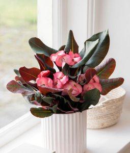 Euphorbia Queen - Queen DK