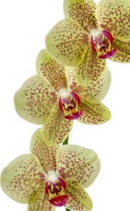 Phalaenopsis Pulsation - Sion Orchids