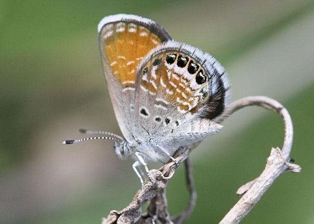 Western Pygmy Blue