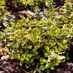 Euonymus Emerald and Gold