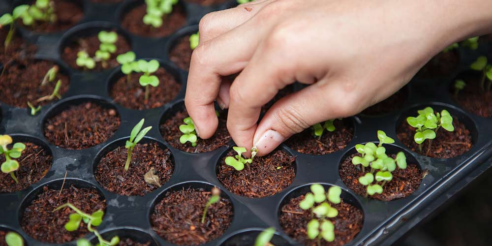 What is sowing and pricking out - feature image